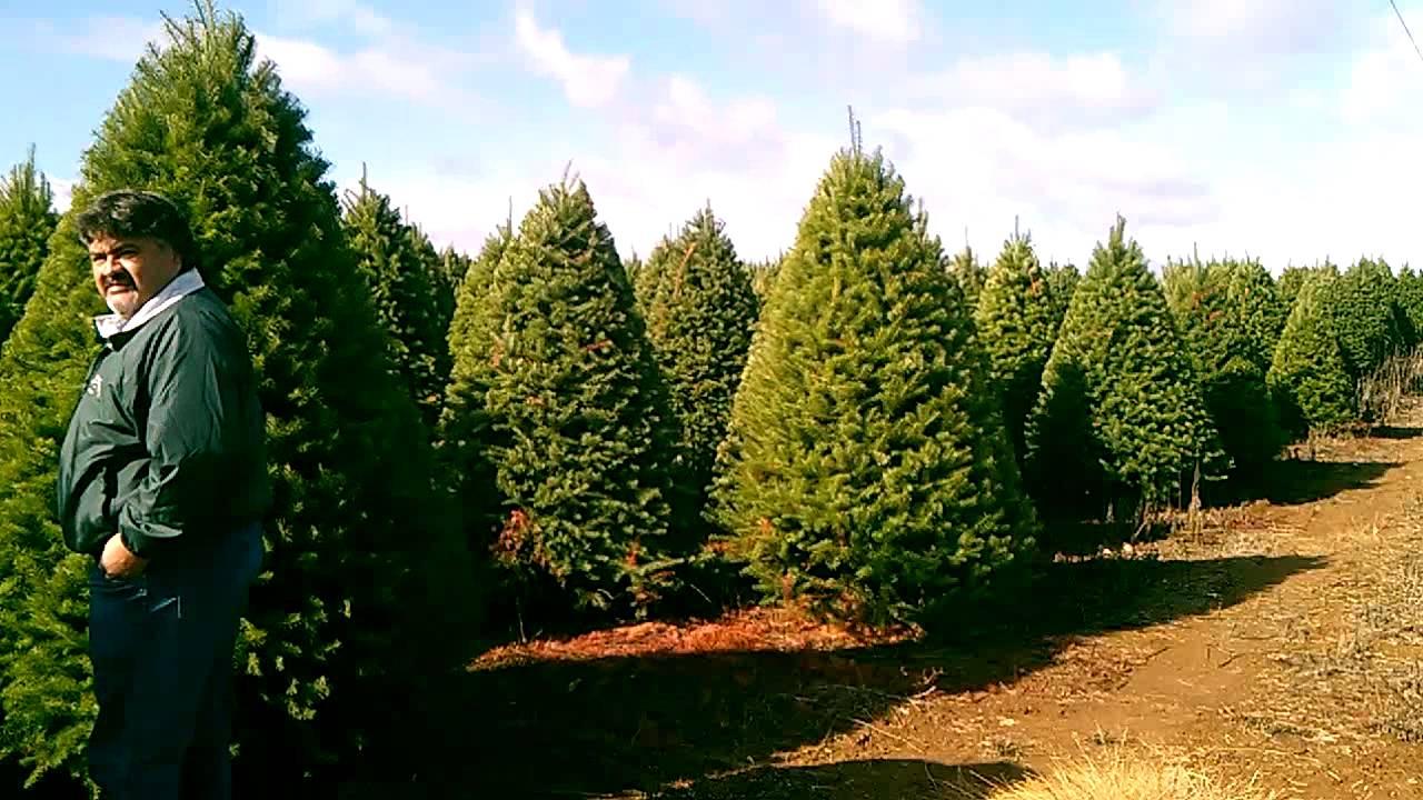 Venta de mayoreo de pinos naturales de navidad tipo for Tipos de pinos para jardin fotos