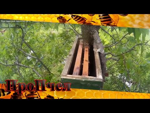 ловля пчел в пустой улей