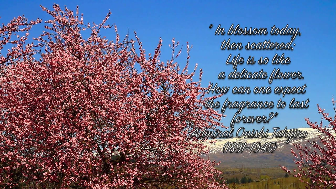 Sakura Cherry Blossoms Beautiful Cherry Blossom Quotes Youtube