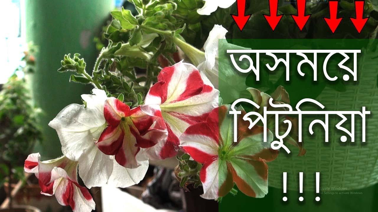 Petunias Care White Petunia All About Petunia Pitunia In Bengali Youtube