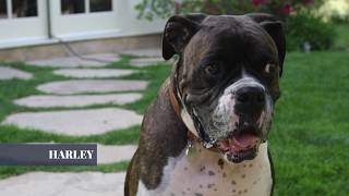LINK AKC | Kate Upton | 'Behind the Scenes': Harley's Rise to Fame