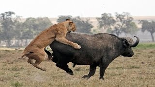 Jungle - Lion Vs Buffalo - Animal World -  Full