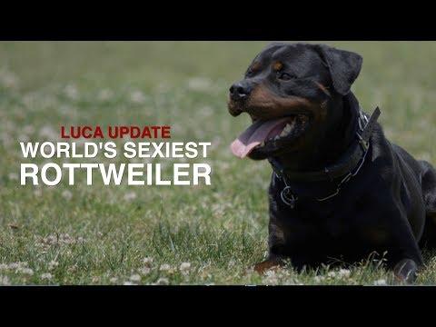 THE WORLD'S SEXIEST ROTTWEILER: LUCA UPDATE