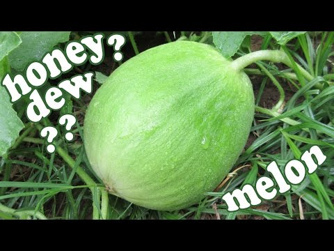 Honeydew Melons - Honey Dew Green Melon Fruit - Growing Fruits Plants - Backyard Gardening - Jazevox