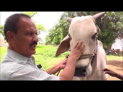 మురళీధర్ రెడ్డి... వరల్డ్ న.1 ఒంగోలు ఆవులా బ్రీడర్ Worlds no 1 Ongole Breeder Murlidhara  Reddy