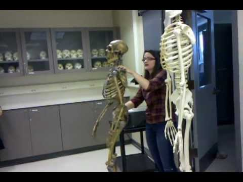 neanderthal vs human skeleton - youtube, Skeleton