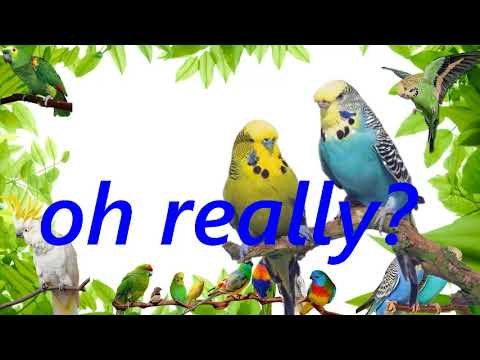 "Teach your bird to say ""oh really "" child sound record parrot budgie talking training"