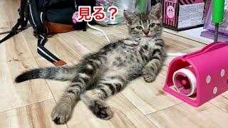 可愛いお腹をドヤ顔で見せつけてくる子猫w
