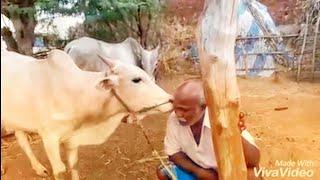 பாசமா வளர்த்த கன்று பாக்குற வேலைய பாருங்க | bull loves kissing his owner