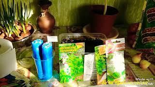 Как посеять зелень для открытого грунта!? Обзор рассады. Лук на зелень. Аномальный холод в Москве