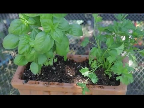 How To Transplant Basil Parsley Plants Garden
