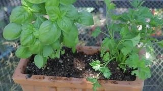 How to Transplant Basil & Parsley Plants : Garden Space
