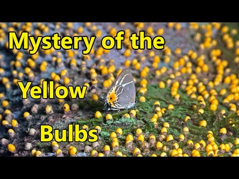 Mystery of the Yellow Bulbs: Caterpillars, Ants & Parasitic Plants