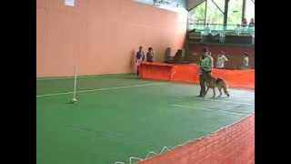 K-9 Freestyle Fun Much (by aura) German shepherd dog 9 years old ジ...