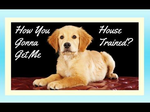 How To Potty Train A Golden Retriever Potty Training Golden Retriever Puppies Housebreaking