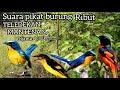 Suara Pikat Burung Ribut Teledekan Dan Mantenan Dijamin Lengket  Mp3 - Mp4 Download