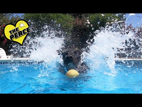 Our Dog Percy the Black Labrador in his Spanish Pool