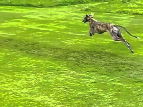 Galgo running