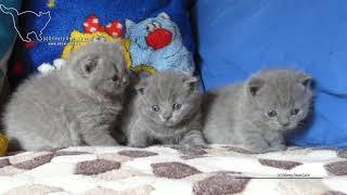 Три недельки-первый выход. британские котята. Помет от 30 января.