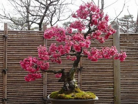 Rare Red Japanese Sakura Cherry Blossoms Youtube