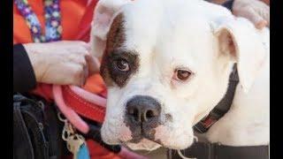 LIVE: Adoptable 90 Pound Bulldog Thinks She's A Lap Dog | The Dodo Live