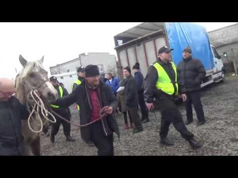 Wyprowadzanie z targu w Skaryszewie źrebnej klaczy 2017
