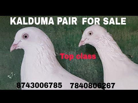 TOP CLASS KALDUMA PAIR FOR SALE