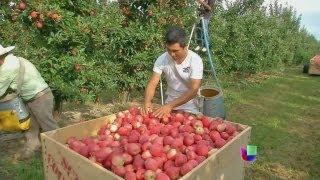 Cosechas de manzana en riesgo por falta de inmigrantes - Noticiero Univisión