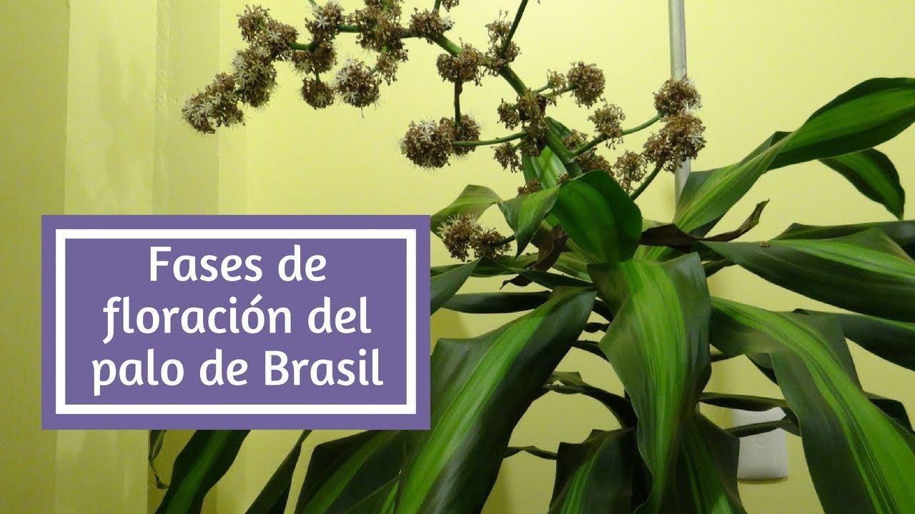 Fases de floración del Palo de Brasil - YouTube