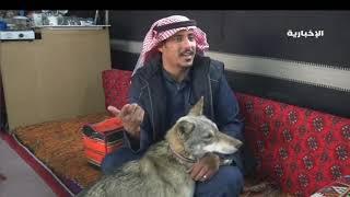العيش مع الذئاب.. واقع تعيشه أسرة سعودية في الجوف