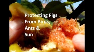 Protecting Figs from Birds, Ants and Intense Sun