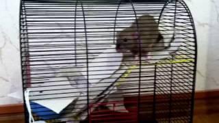 Наша крыска Меги строит себе домик из туалетной бумаги. Крыса Дамбо.