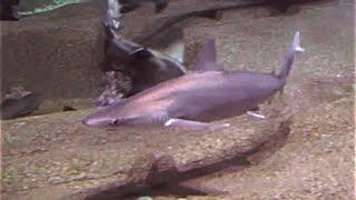 スミツキザメ   Whitecheek shark    Carcharhinus tjutjot Carcharhinus dussumieri