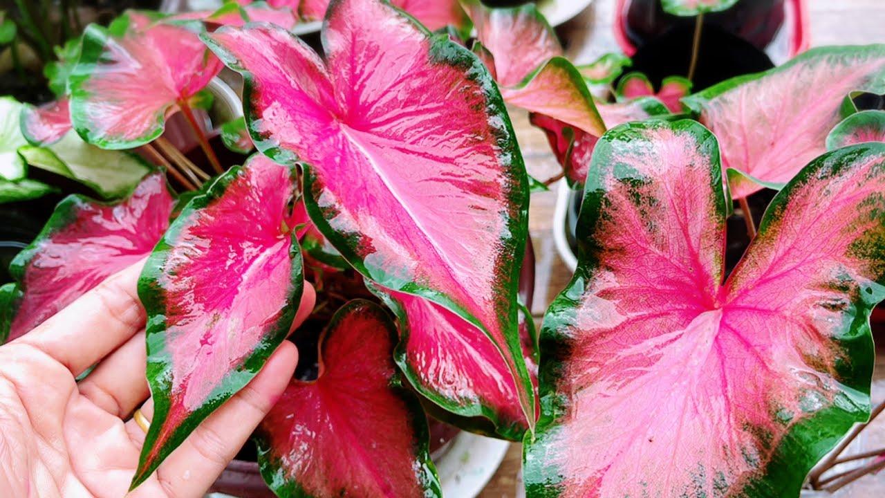 เจอตะลึง!! บอนสีสีสวยงามสะท้านสวยล้น!!ง้าวกวนอูหงษ์หยกทำบุญด้วยปีละครั้งขอให้#บุญข้าวสาก แม่ก้อยพาทำ