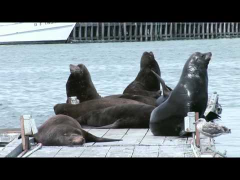 Crescent City, California Sea-Lions Sunbathe before the Tsunami
