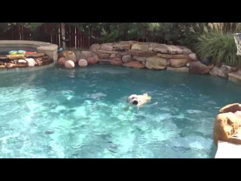 Soft-coated Wheaten Terrier swimming