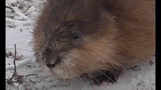 Водяная крыса в тираспольском фонтане