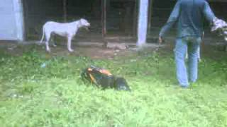 Tom2 And Leo 14 Months Old, Dogo Attack Training For Beginner