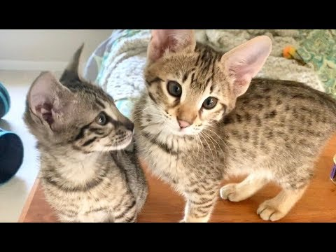 Cute Cats And Kittens Meowing & Purring Compilation