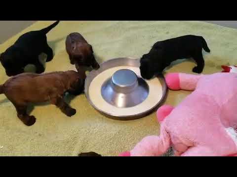 Briard mom Gigi and her pups Video 9