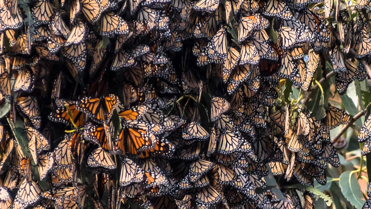 Pismo Beach Monarch Erfly Grove