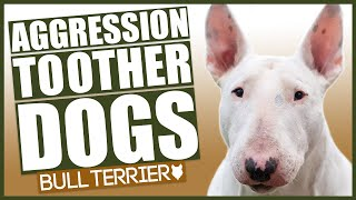 AGGRESSIVE BULL TERRIER TRAINING! How To Train Aggressive Bull Terrier Puppy!