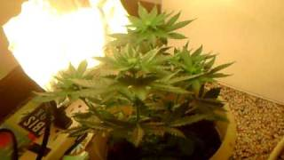Mini Closet Grow Cfl's!!!!!