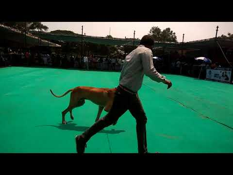 Great Dane dogs in Mysore dog show 2017