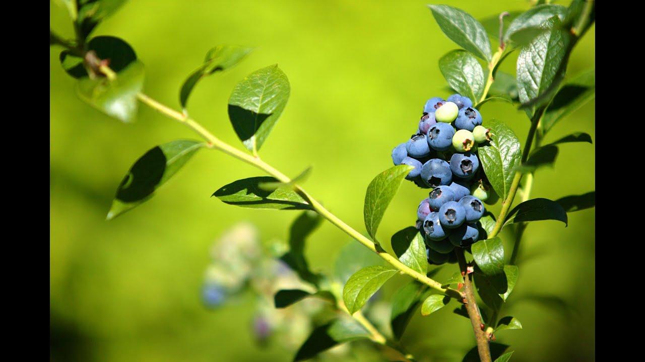 Mondini plantas como cultivar mirtilo blueberry youtube for Como cultivar plantas ornamentales