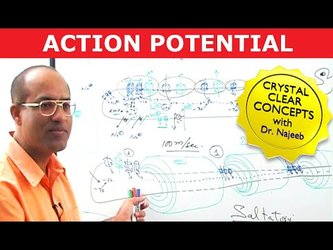 Download Resting Membrane Potential   Action Potential in Neurons   Neurology