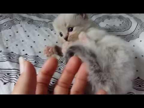 Sweet 4 week old ragdoll baby