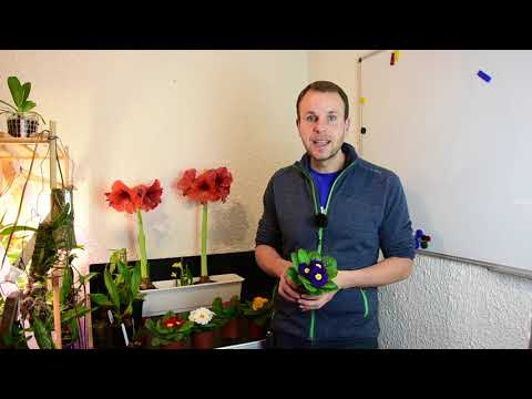 Primeln richtig pflegen - Stängellose Schlüsselblume - Primula vulgaris - Epische Fakten