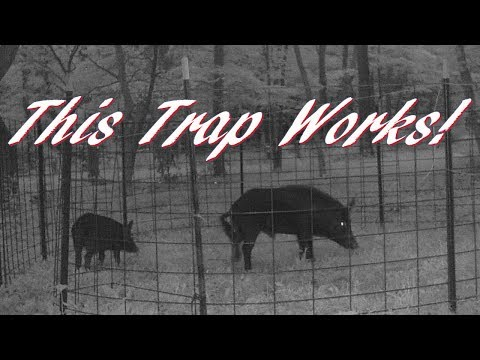 How To Build A Corral Figure C (Figure 6) Feral Hog Trap!  Trapping Wild Feral Pigs!