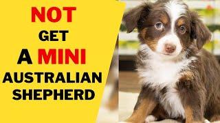 8 Reasons Why You Should NOT Get a Mini Australian Shepherd